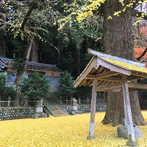 春日神社(土屋原) ラッパイチョウ