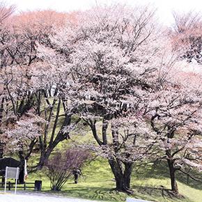 丸山公園(まるやまこうえん) ヤマザクラ