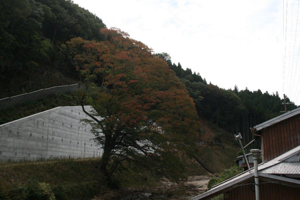 町屋の大ケヤキ (4)